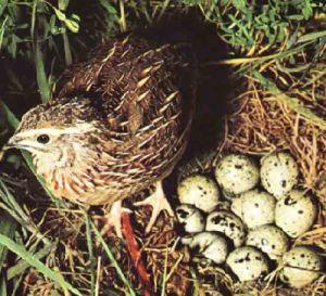 Bıldırcın yumurtasının faydaları